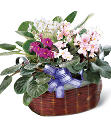 African Violets Get Well Basket